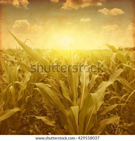 Corn field at sunset in grunge and retro style.  - stock photo