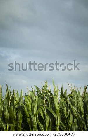 Corn field crop with blue sky background - stock photo