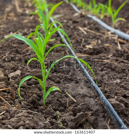 Corn field growing with drip irrigation system. - stock photo