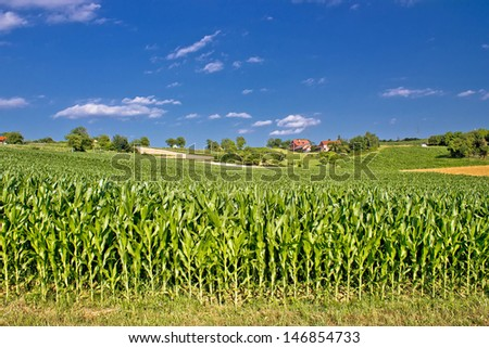 Corn field in agricultural rural landscape, Prigorje region, Croatia - stock photo