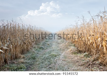 Corn Field in frost - stock photo