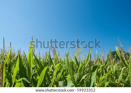 Corn field in late summer against a blue sky in horizontal - stock photo