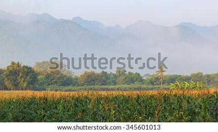 Corn field in morning landscape - stock photo