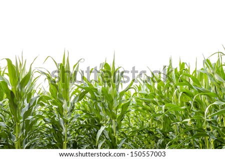 Corn field in summer. Isolated over white background. - stock photo