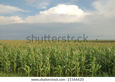 Corn field in summer over sky and clouds - stock photo