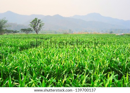 Corn field in Thailand at sunset - stock photo