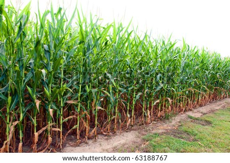 Corn field on farm in southern Alabama. - stock photo