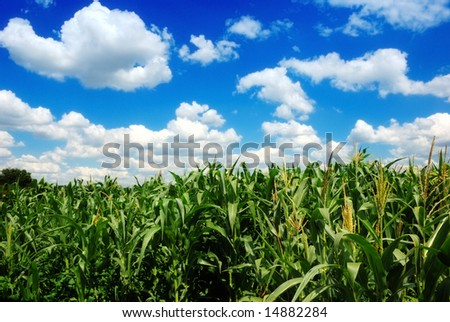 corn field over cloudy blue sky - stock photo