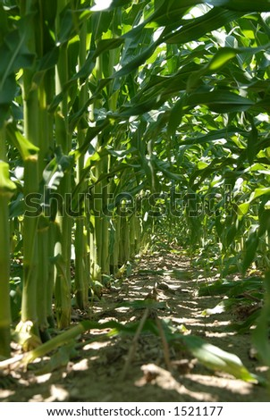 Corn Field - Shot from the inside of a corn field showing the rows of corn stalks. - stock photo