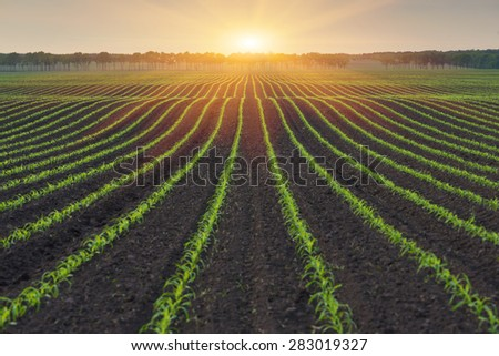 Corn field. The lines in nature. Morning landscape with sunlight - stock photo