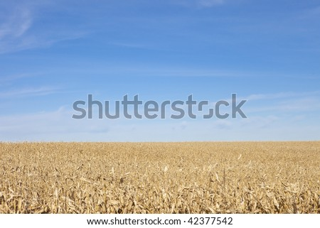 corn field to the horizon and blue sky with room for copy - stock photo