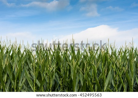 Corn field with blue sky - stock photo