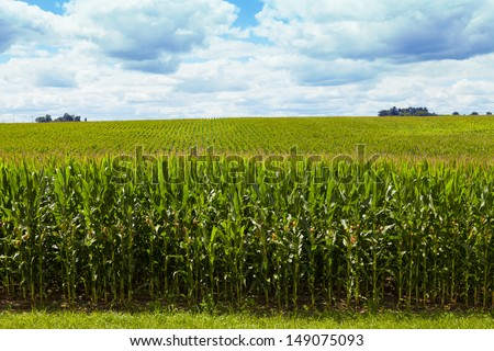 Corn Field With Cloudy Sky  - stock photo