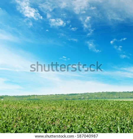 corn field with young shoots - stock photo
