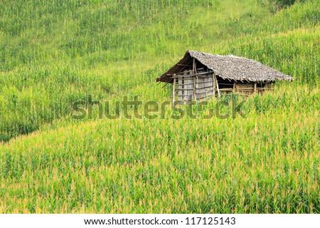 Corn fields - stock photo