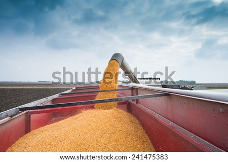 Corn harvest in autumn - stock photo
