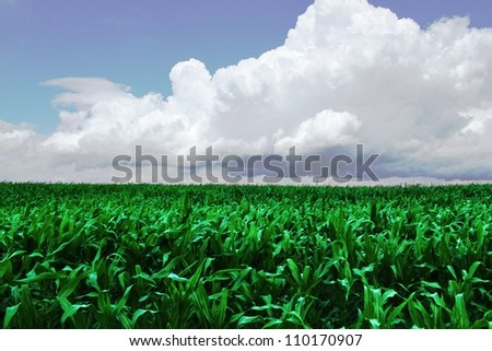 corn - harvest time - stock photo