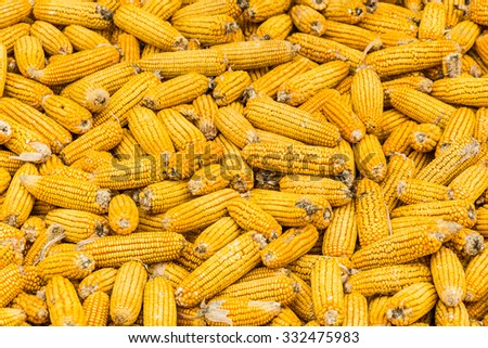 Corn maize cobs during harvesting season and combine harvester in background. - stock photo