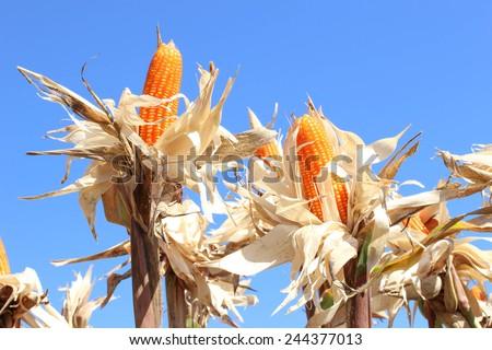 Corn on the cob - stock photo
