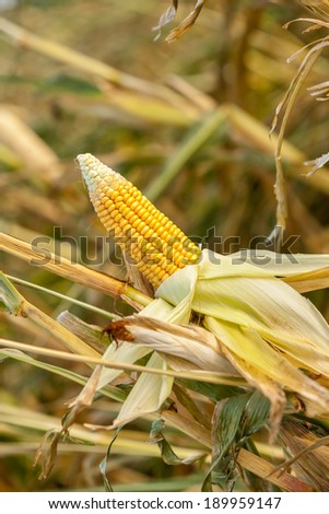 Corn on the cob in an agricultural field with the covering peeled back to expose the ripe yellow kernels ready for harvesting as a staple human food or fodder for livestock - stock photo