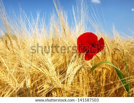 corn poppy in wheat field - stock photo