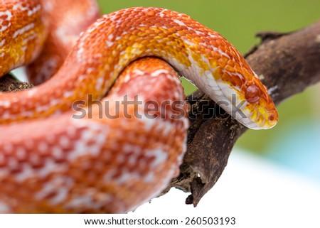 Corn snake - stock photo