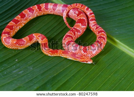 "Corn snake amelanist (albino) (Elaphe guttata ""amelanistic"") with a protruding tongue lies on a green banana leaf - stock photo"
