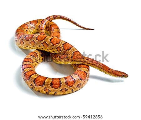 corn snake on a white background - stock photo