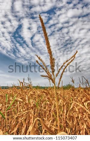 Corn-stalk - stock photo