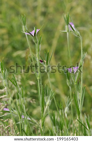 Corncockle - Agrostemma githago Rare Arable Wild Flower - stock photo