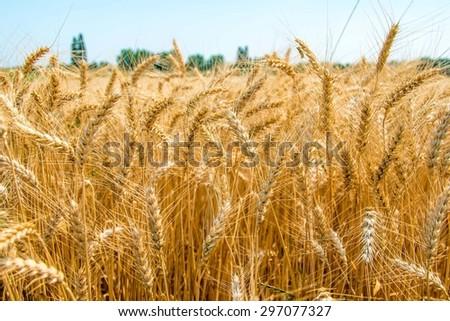 cornfield - stock photo