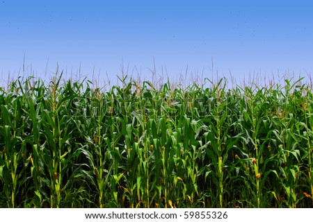 Cornfield and clear blue sky - stock photo