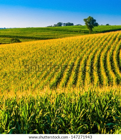 Cornfield and tree on hill in rural York County, Pennsylvania. - stock photo