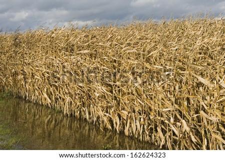 Cornfield in autumn season - stock photo