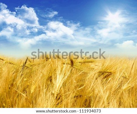 Cornfield on a sunny day with clouds - stock photo