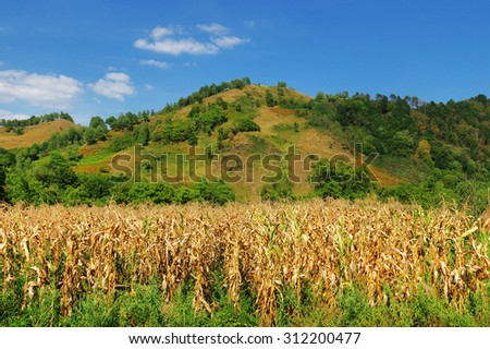 Cornfield on the slope of the hill - stock photo