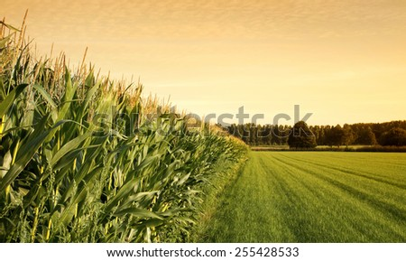 Cornfield with farmland  at sunset.  - stock photo
