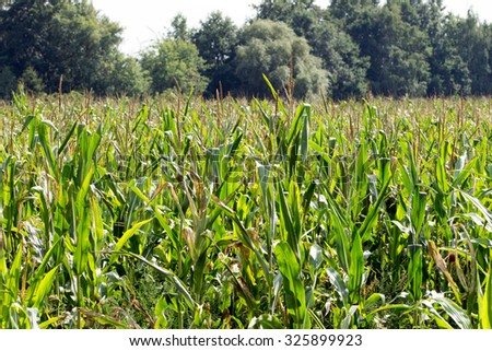 Cornfield with many Corn Plants / Corn field - stock photo