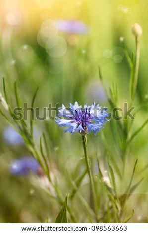 cornflower in nature - stock photo