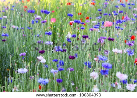 Cornflower or Bachelor's Button wildflower field - stock photo