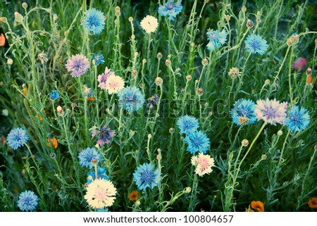 Cornflower or Bachelor's Button wildflower field in vintage light - stock photo