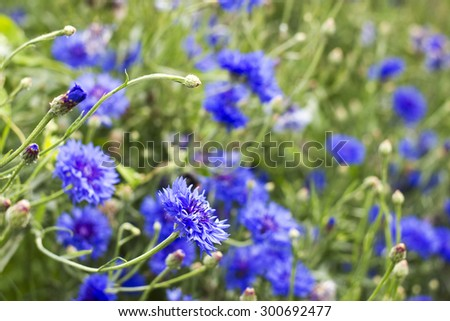 cornflowers - stock photo