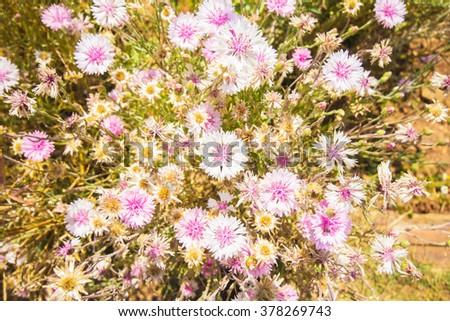 Cornflowers flowers in the garden - stock photo