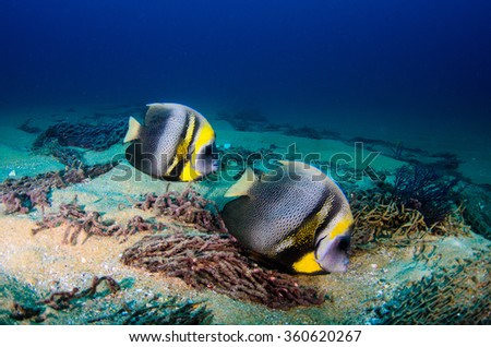 Cortez Angelfish, (Pomacanthus zonipectus) feeding in a shipwreck. reefs of the Sea of Cortez, Pacific ocean. Cabo Pulmo, Baja California Sur, Mexico.The world's aquarium. - stock photo