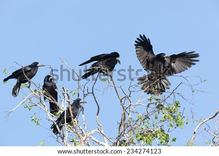 Corvus frugilegus, Rook is in the nature. - stock photo
