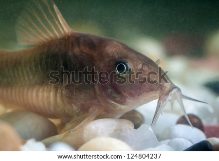 Corydoras catfish swimming in a aquarium. - stock photo