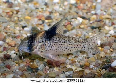 Corydoras fish on the bottom and in the aquarium. - stock photo