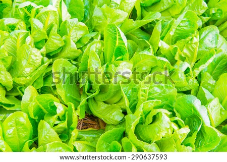 Cos Lettuce in The Garden, Thailand. - stock photo