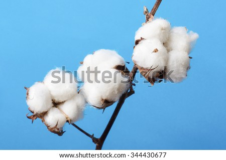 Cosiness concept cotton plant branch still life - stock photo