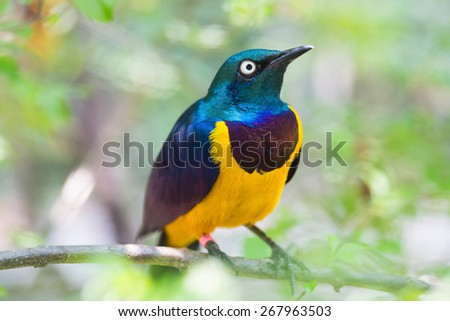 cosmopsarus regius perched on a tree - stock photo